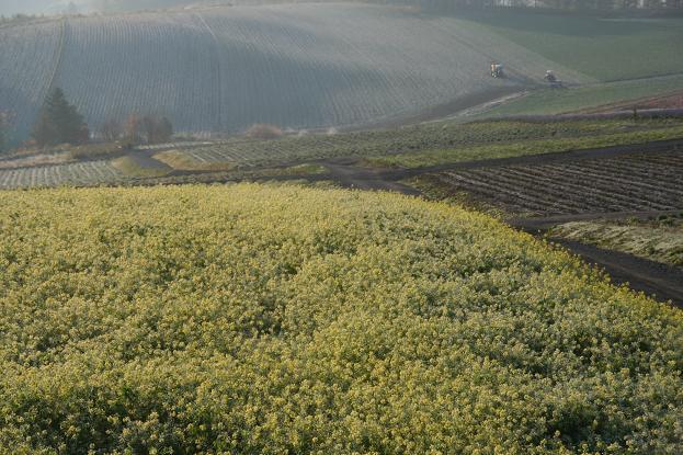キガラシの畑