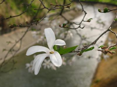 辛夷の花はこんな花