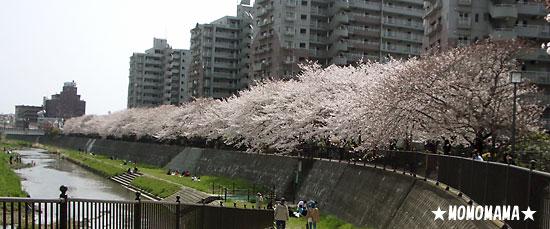美しい桜並木。