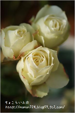 まだ咲く エーデルワイス