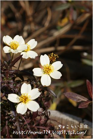 ウィンターコスモス 冬色の葉