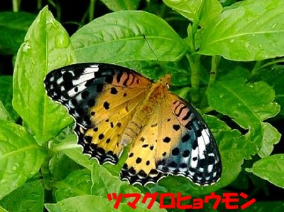 tumagurohyoumonn2 ツマグロヒョウモン ②