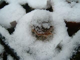雪かぶりセンペ