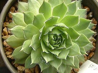 緑シリウス