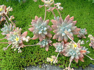 20080503Graptopetalum sp