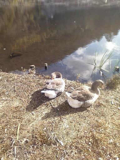 金鱗湖にいた水鳥