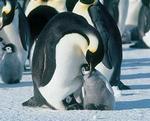 皇帝ペンギン2