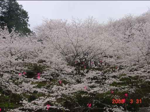 2008 桜1