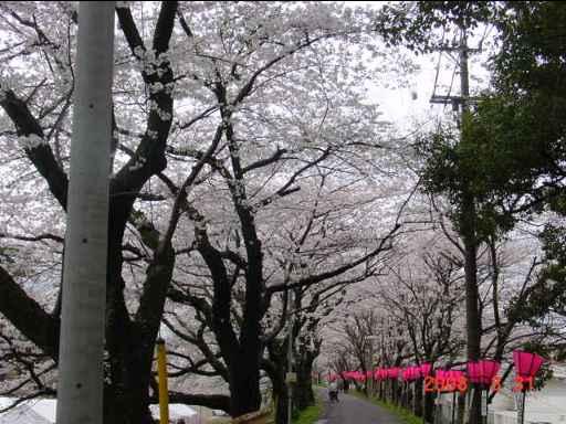 2008 桜2