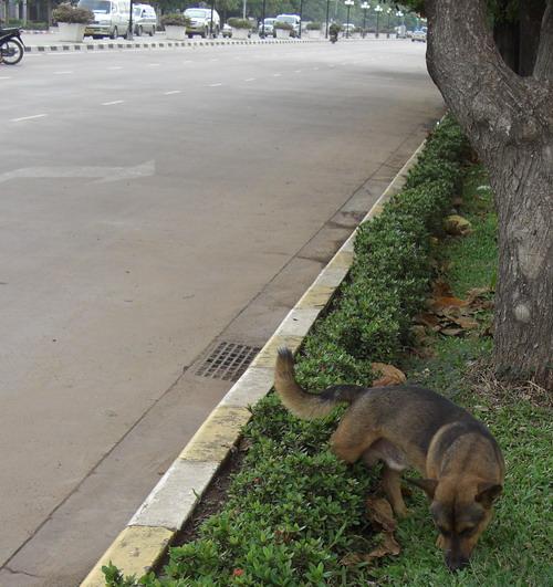 1-ラオスの犬