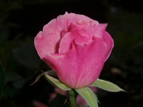 rose25 0011