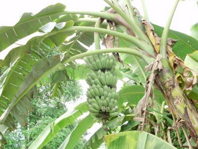 バナナ収穫1