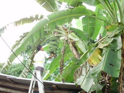 バナナ収穫2