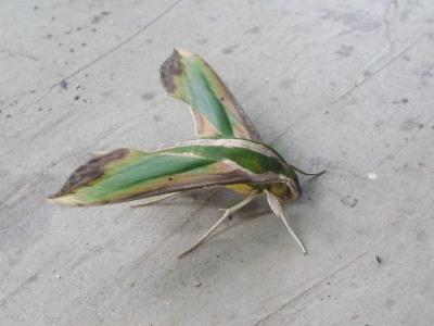 葉っぱみたいな蛾