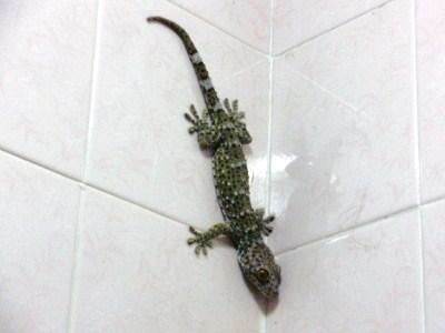 トイレの中のトゥッケー1