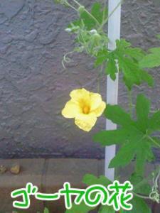 ゴーヤの花。