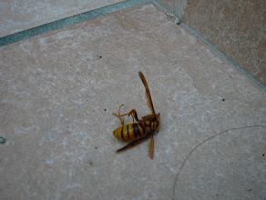スズメバチ・・