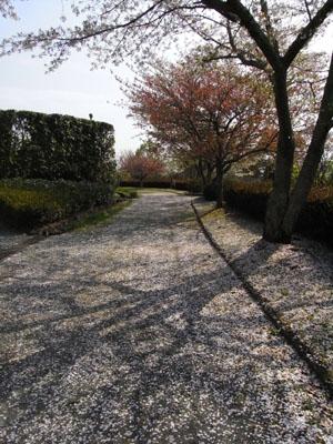 桜吹雪02