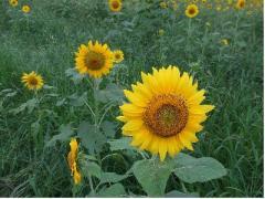 季節はずれの向日葵