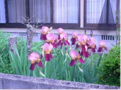 庭のジャーマンアイリス