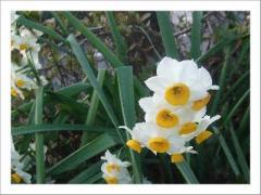 09年2月庭の水仙