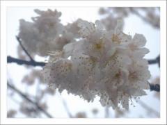 早咲き八重桜