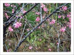 雨の中の桜(09年)