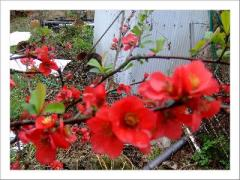 まっかなボケの花