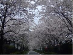 09年桜のトンネル
