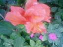 八重咲きのブーゲンビリア