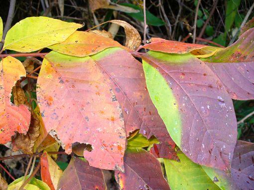 紅葉した葉2