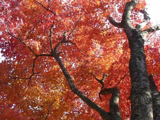 空一面の紅葉