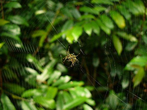 金色のクモ