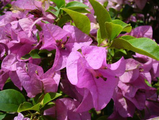 アンダーソン橋の花