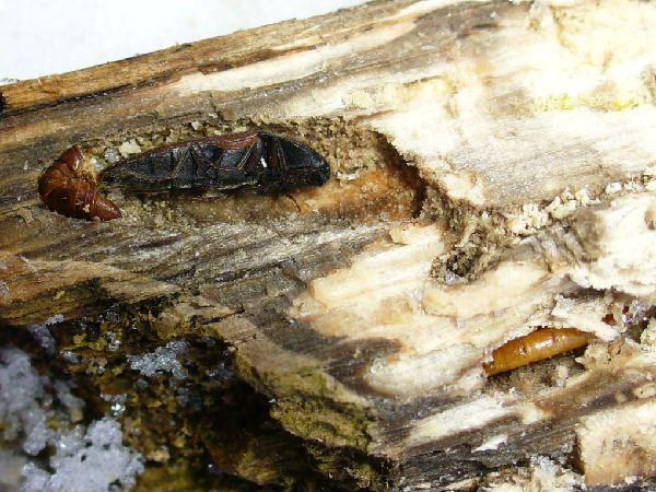 蛹室内のアカコメツキ