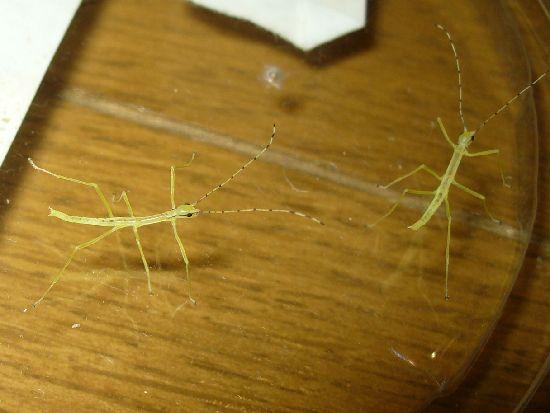 シラキトビナナフシの孵化