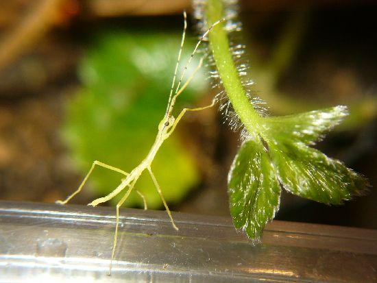 シラキトビナナフシの孵化4