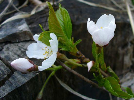 切り株の桜の花