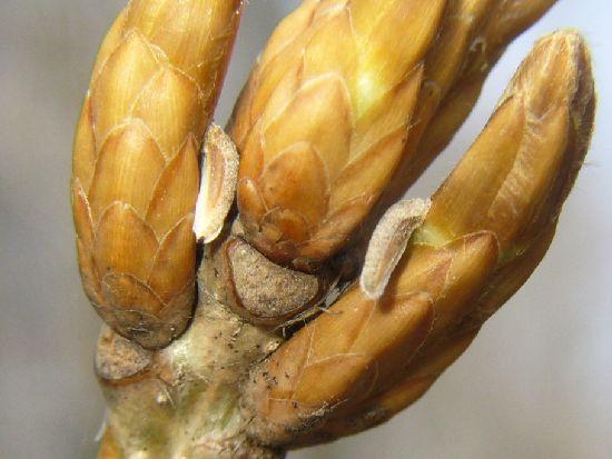 ミズナラの芽と幼虫