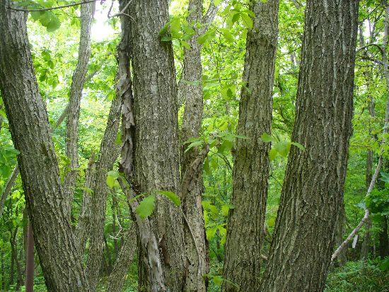 ミズナラの木