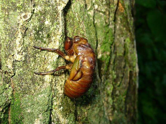 セミの幼虫3