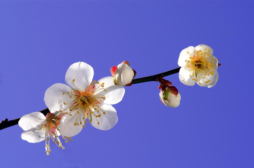 白梅 蕾 青空 2009 春 2月