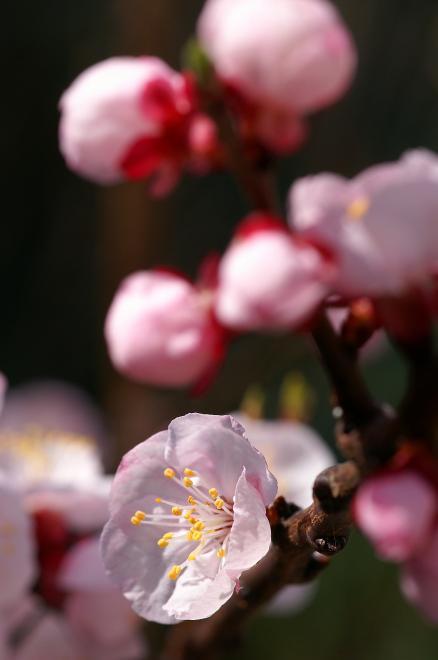 アンズ 杏子 ピンク 2009 春 花 蕾