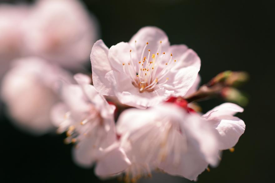 杏子 アンズ ピンク 花 2009 春