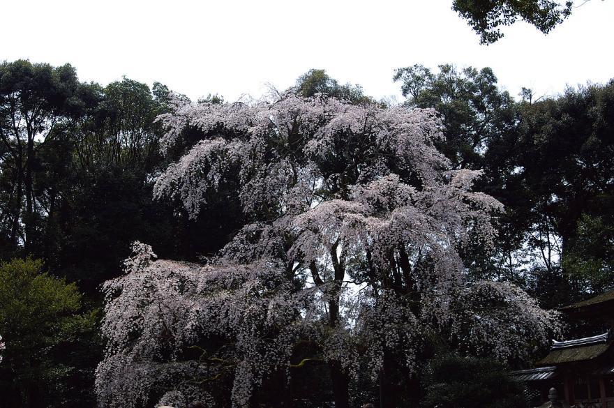 サクラ 醍醐寺 シダレザクラ 京都 2009 α7D