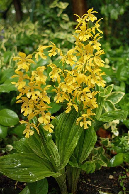 エビネ DP2 雨 黄色 草 2009 春