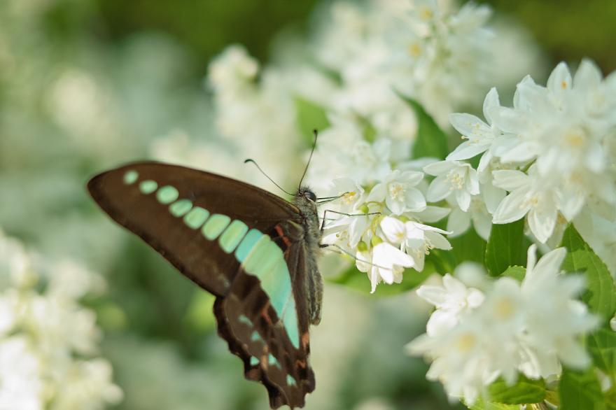 DP2 アオスジアゲハ 蝶々 春 2009 花 白 青 クローズアップ AML-1