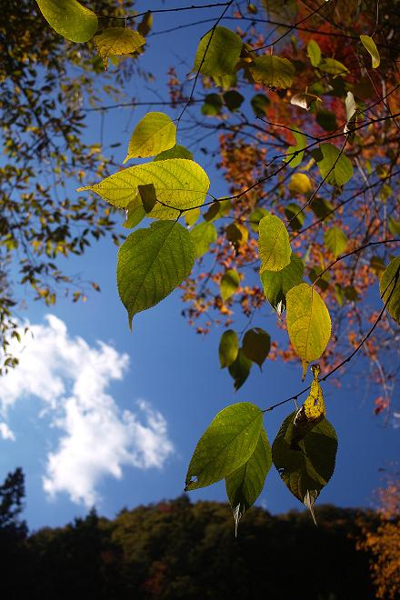 柿其渓谷 青空 紅葉 葉 雲