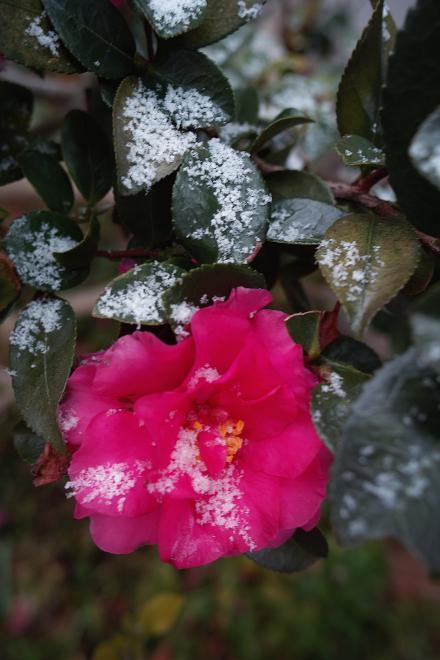 山茶花 雪 冬 2009