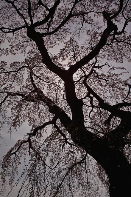 サクラ 醍醐寺 京都 逆光 2009 DP1